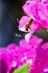 蜂とツツジ