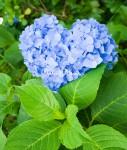 今日は愛情弁当に紫陽花な