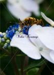 虫と紫陽花1