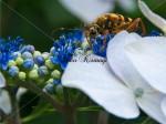 虫と紫陽花2