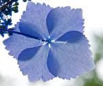 紫陽花 ひとひら