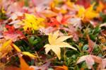 紅葉の花2