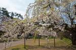弘前城公園内の桜