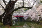 中濠の桜風景