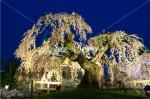 桜に埋もれた鯱