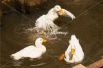 3羽のアヒル