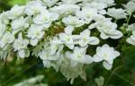 紫陽花13 カシワバアジサイ