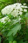 紫陽花14 カシワバアジサイ
