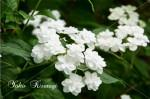 紫陽花15