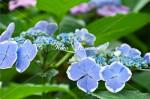 紫陽花16