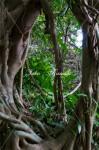 ガジュマルの木