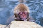 野猿公苑のニホンザル