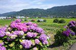 開成町 紫陽花と田園