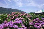 紫陽花花かご